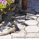 The iguanas that live under the electrical panel