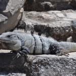 A big, iguana at Tulum.