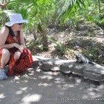 Iguanas are vegetarians, but they do bite. Meps keeps a safe distance.