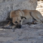 Sleeping dog at the base of a priceless stela, Ek'Balam.