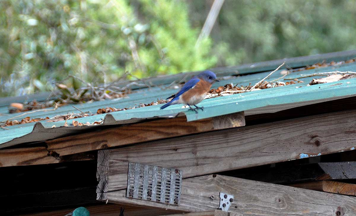 Bluebird on a tin roof