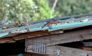 Bluebird on a tin roof