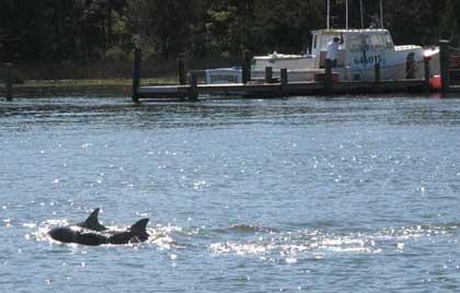 Dolphins near Bock Marine