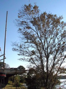 Over 18 years, the tree grew taller than her mizzen mast